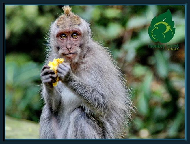 monkey forest bali a