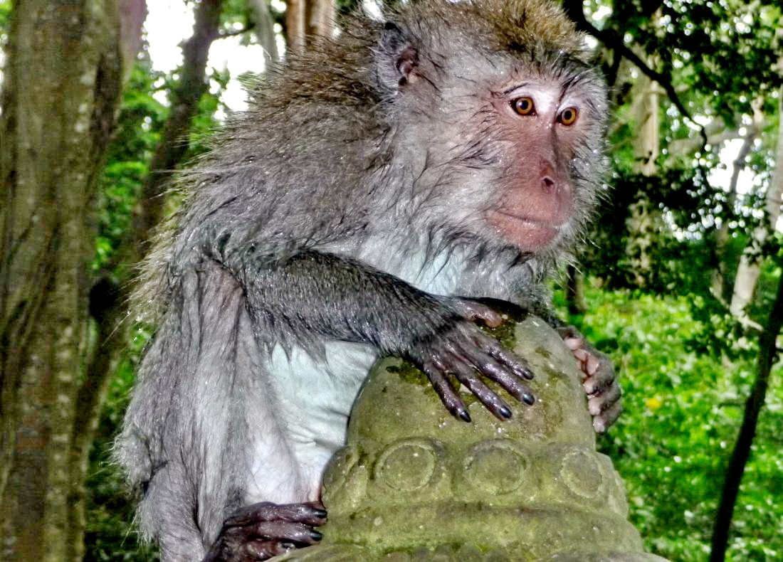 monkey forest ubud 9